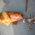 タイラバの外道:キジハタ