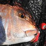 鯛歌舞楽(タイカブラ) ヤマリア – 実釣・釣果