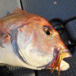 鯛歌舞楽(タイカブラ) ヤマリア – 実釣・釣果(1)